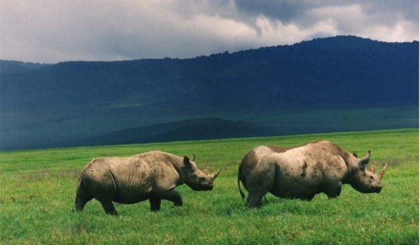 Black-Rhinos-Ngorongoro
