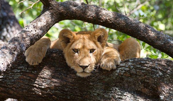 Lion-in-a-tree-in-Lake-Manyara-National-Park