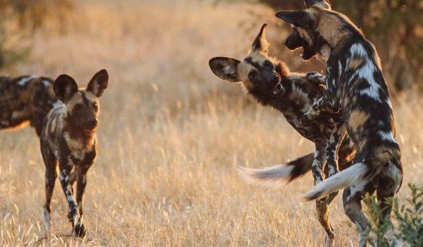 Tanzania-Ruaha-National-Park-African-Wild-Dog-Safari-