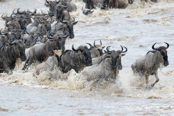 Wildebeest-Migration.jpg