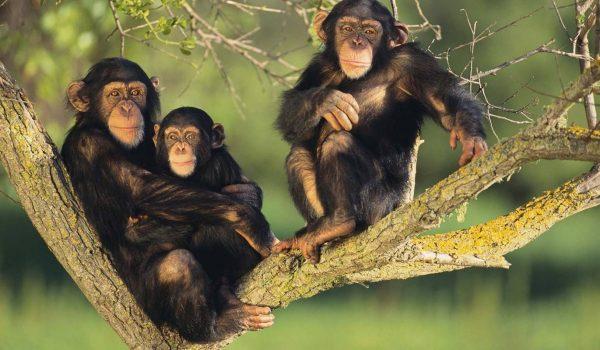 chimps of Bwindi National Park