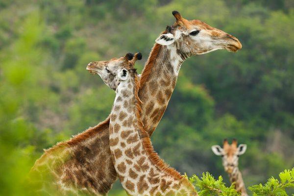 giraffe-romantic