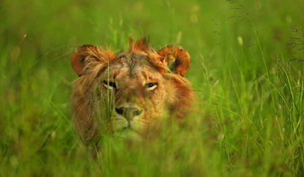 lion on hiding