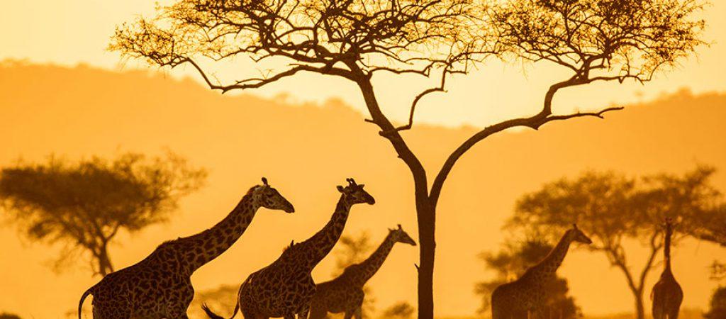 serengeti Girrafe