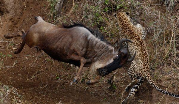 serengeti_wildebeest_migration_pattern_cheetah