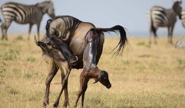 wildbeest-calving
